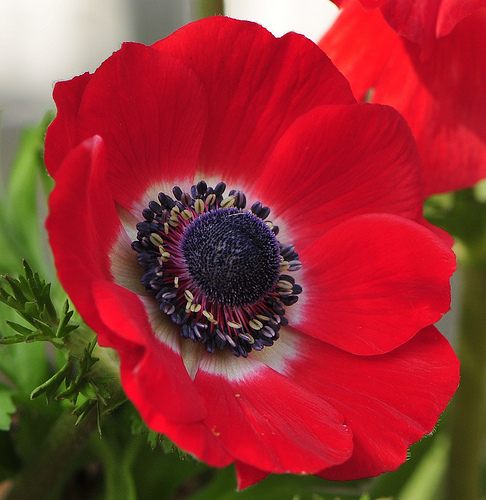 C__Data_Users_DefApps_AppData_INTERNETEXPLORER_Temp_Saved Images_anemone-flower-6.jpg